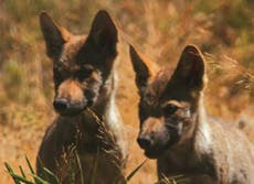 Wild wolves born in Antequera