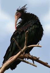 Hermit ibis
