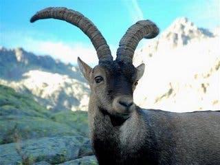 pyrenean ibex