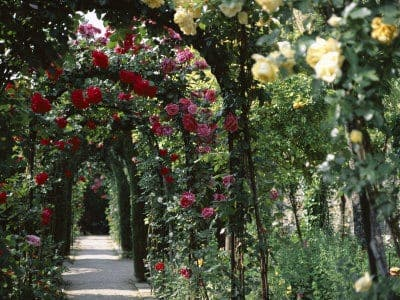 The Eco Garden: Good Year for the Roses