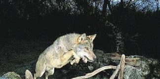 fake wolf wildlife photo