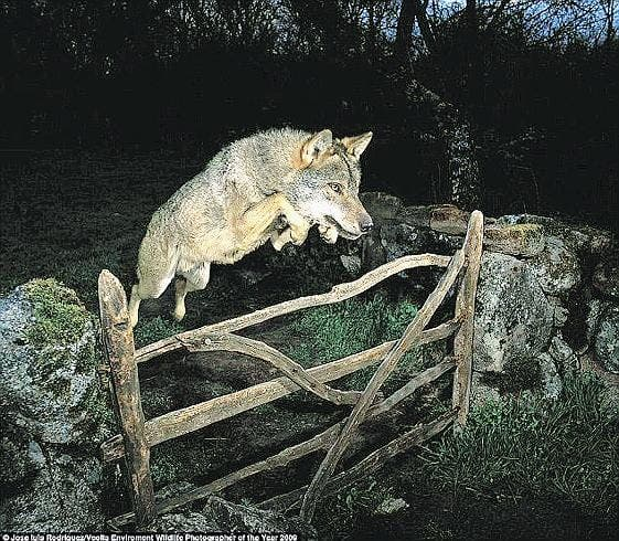 Spain becomes wolf stronghold