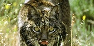 Iberian Lynx protected in Andalucai
