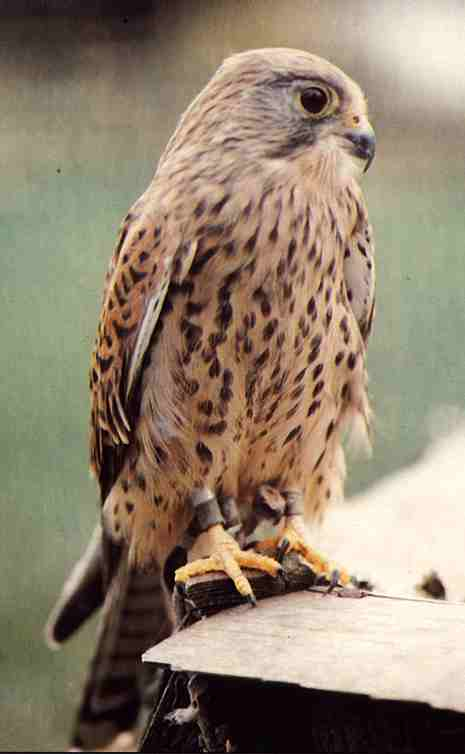 Kestrels set to fly back