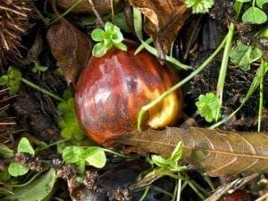 Chestnut-1