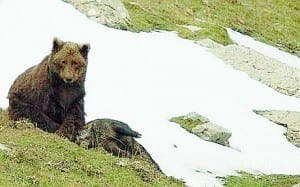 Grizzly death