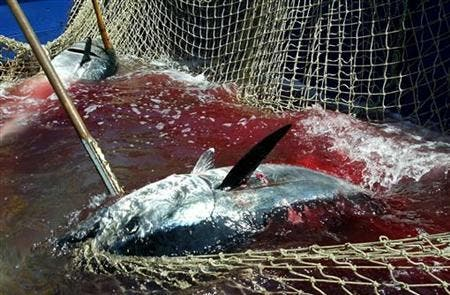 Japan steps in to 'save' tuna