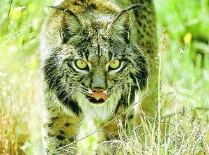 Endangered Iberian lynx is shot dead in Sevilla