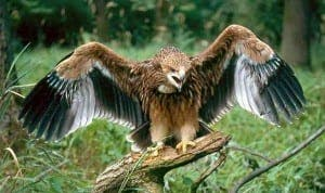 spanish imperial-eagle