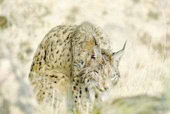 A needle in a haystack – hunt for the world's rarest cat