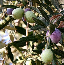Bumper olive crop needs to be stored for next year