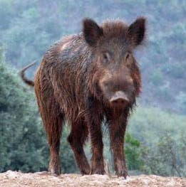 Boar-ing bother in Spain