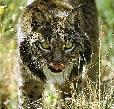 Popularity of cork helps endangered Iberian Lynx in Spain