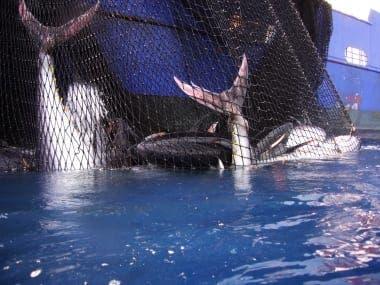 Spanish fishermen reach their bluefin tuna quota in record time