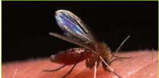 leishmaniose sand fly