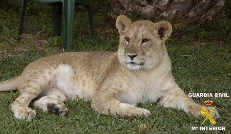 Lioness found living in Spanish urbanisation