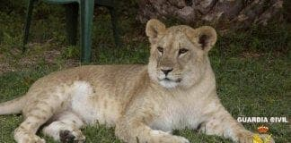 lioness found living in spanish urbanisation
