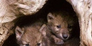 Wolves in Asturias to be hunted