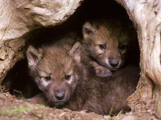 Wolf hunting to be legalised in Spain