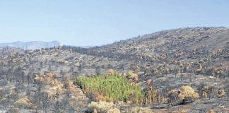cypress trees survive fires in valencia