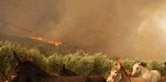 Donkeys run from the Costa del Sol fires e