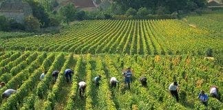 grape pickers