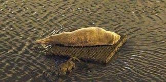 foca cria
