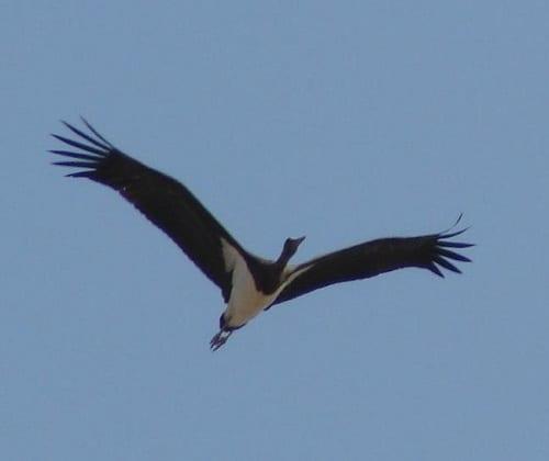 500 black storks migrate in one day