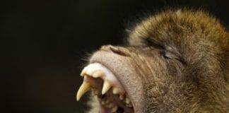 Barbary macaque e