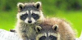 Raccoon cuties e