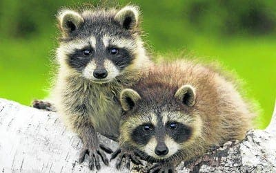 Donana National Park launches raccoon-catching programme