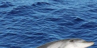 Whale and dolphin survey in Gulf of Cadiz e