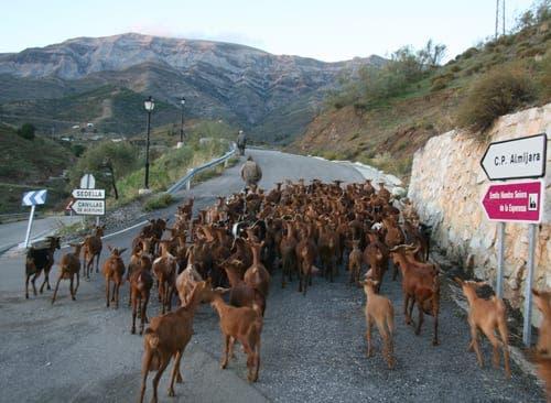 Competa: Goat jams and politics