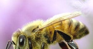 honey bees can identify picasso