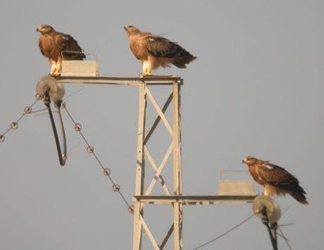 Endangered imperial eagles benefit from safer electricity pylons in Spain