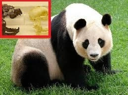 Giant pandas came from Spain… So that's why they're so laid back!