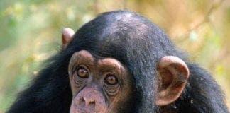 Chimpanzee e