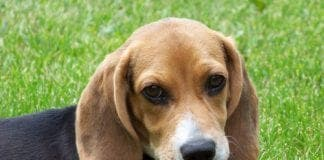 Cute beagle puppy lilly e