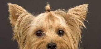 yorkshire terrier e