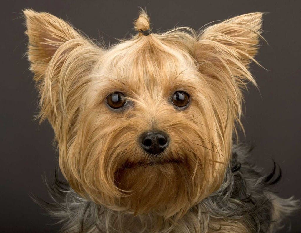 Mugger who used Yorkshire terrier to scare victims arrested in Spain