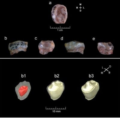 Tooth found in Cave of Orce named earliest human remain