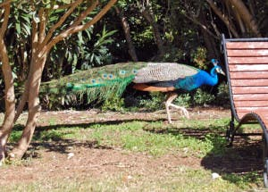 A bloody-minded peacock