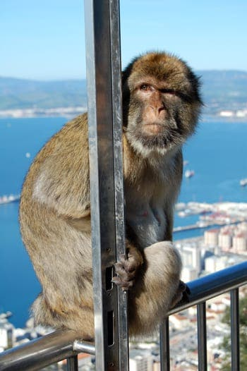 Beware – monkey wardens on patrol in Gibraltar