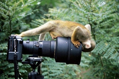 Gibraltar apes to be surveyed using 'Monkeycams'