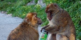 pringles monkey