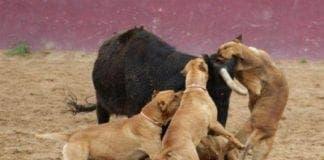 pit bulls e