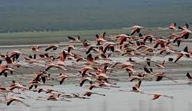 flamingo banding