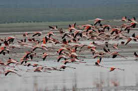 Fuente de Piedra gears up for annual flamingo banding