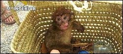 Gibraltarian monkey rescued from 'kidnappers'