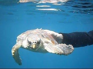Loggerhead turtle release in La Herradura